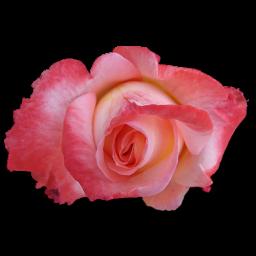 Rose China icon