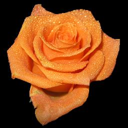 Rose orange 2 icon